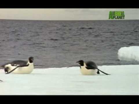 Ultimate Animal Dads: Emperor Penguins