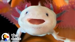 Axolotls Have The Cutest Yawns | The Dodo