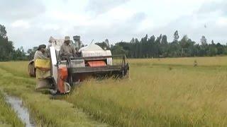Tin Tức 24h Mới Nhất | Cần Thơ: Giá lúa hiện nay giảm nhẹ