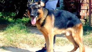 Bán Chó Becgie Đức 13 tháng - bme ngoại - giá 39 triệu - đt 0976323111