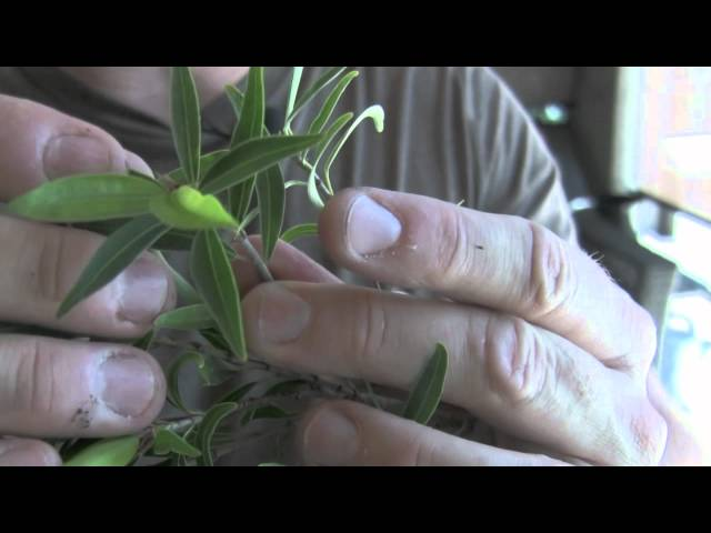 How To Bonsai - Clip and Grow Pruning