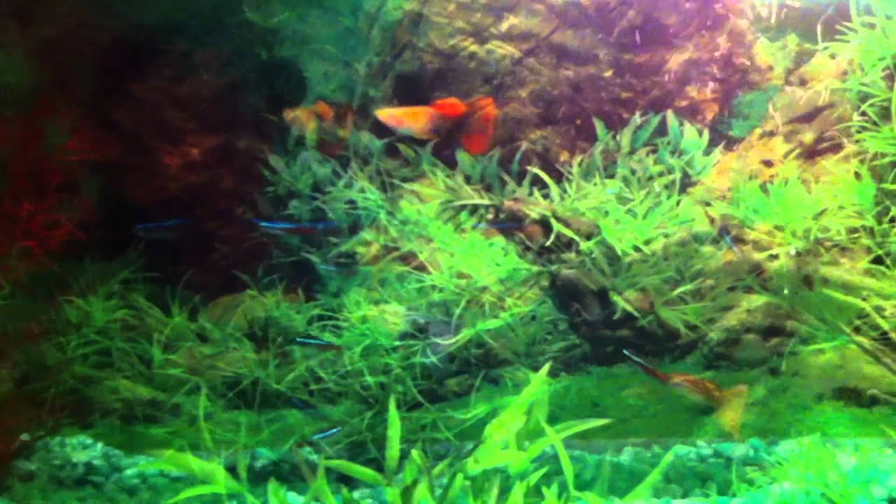 Tetras Guppies Together Fancy Guppy Neon Tetra Tank