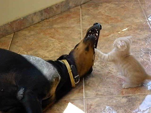 doberman, kitten playing