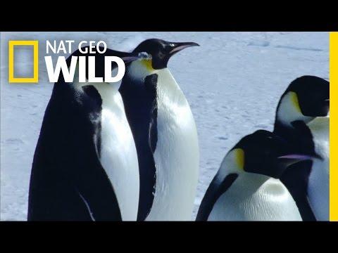 Emperor Penguin Migration   Deep Blue