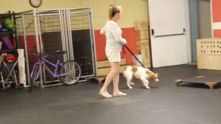 Dog training   Otto during his drop off session   Solid K9 Training Dog Training