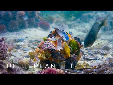 Download FIRST TIME ON CAMERA: Octopus disguises itself in shell suit - Blue Planet II: Episode 5 - BBC One