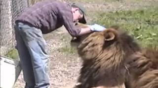 Male lions being affectionate with a man--Amazing video
