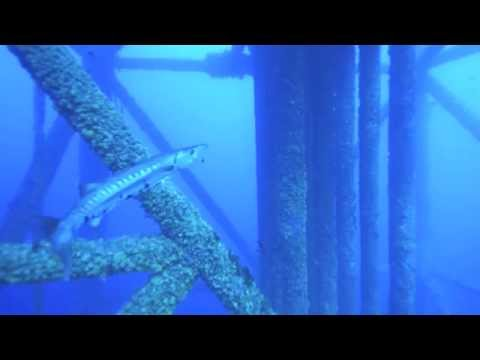 Diving in blue water on the oil rigs off Louisiana coast
