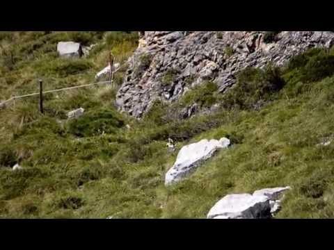 ÁGUILA CALZADA. (Hieraaetus pennatus). CAZANDO