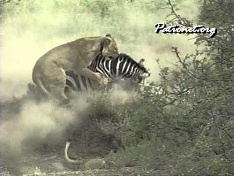 ライオンの狩り #3 lion hunting #3   lion takes down zebra