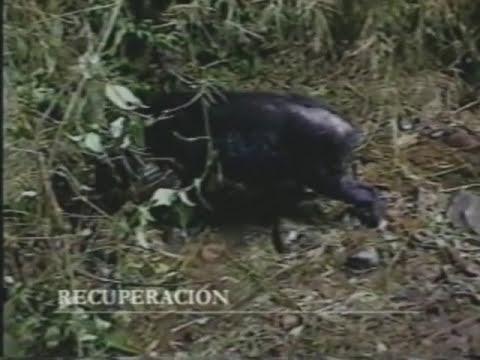 Primer video del tapir lanudo