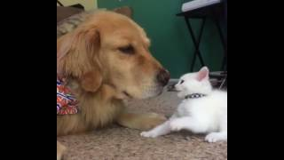 Kitten wants to play, dog wants to nap