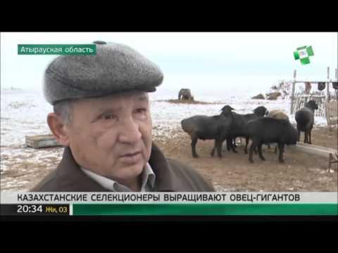 Казахстанские селекционеры выращивают овец-гигантов