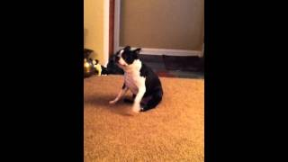 Dog spinning to itch booty.....