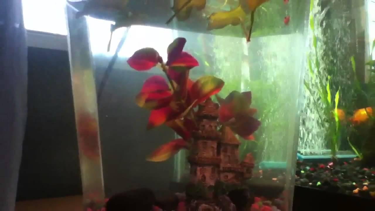 Baby Betta Fish Care Youtube