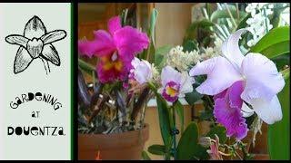 Three Sizes of Cattleya & Other Updates