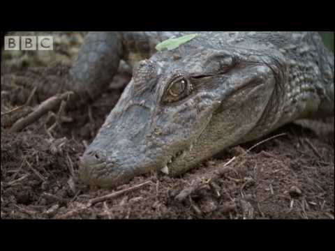 Attenborough - Baby Caymans hatching - BBC wildlife