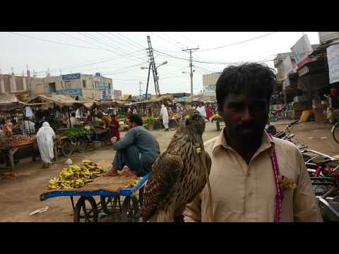 Pakistani Eagle Punjab Sindh Sargodha Multan Faisalabad video