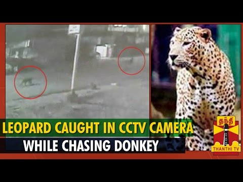Leopard Caught In Cctv Camera While Chasing Donkey : Thanthi Tv video