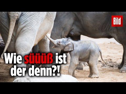 Baby-Elefant im Leipziger Zoo vorgestellt
