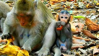 Even Mommy Try To Weaning Baby Lindo   But Baby Lindo Good Health and So Strong  So Pity Baby Monkey