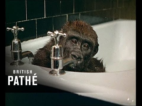 The Cutest Ever Baby Gorilla takes a Bath