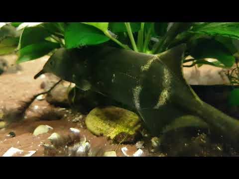 Elefant nose fish