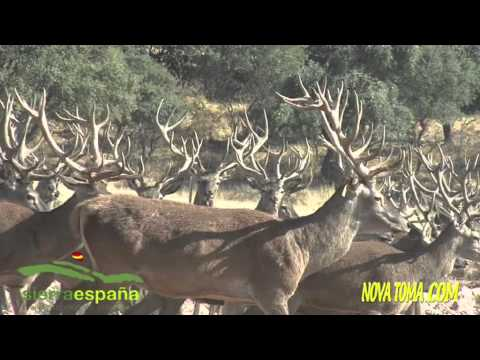 CAZA NOVATOMA SERVICIOS, (Hunting Vídeo)  con SIERRA ESPAÑA en la Zarzuela