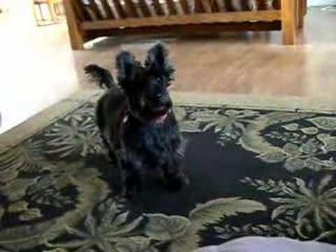 Cutest Scottish Terrier asking for food! Video