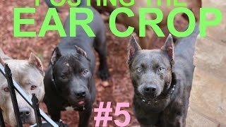dog puppy ear crop posting after surgery cut ears pitbull doberman dogo boxer presa