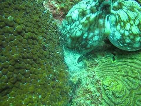 Octopus laying eggs!