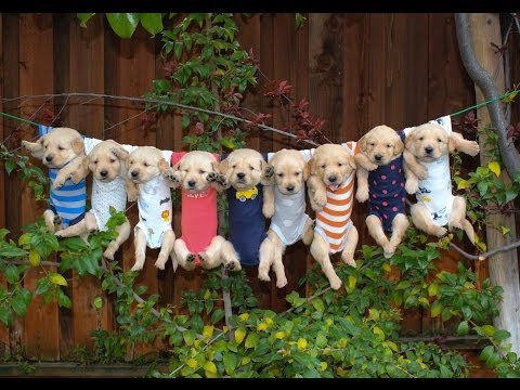 Most Adorable Golden Retriever Puppies  (Music: Oceans of Love by DidiPop)