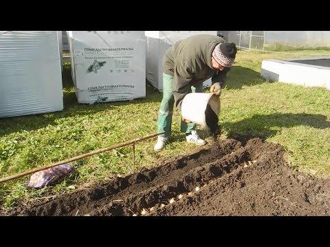 Садим лук на перо ( по осени)