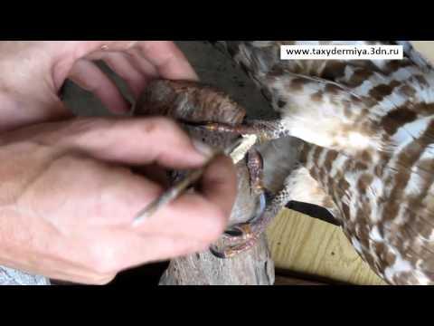 Как сделать чучела животных своими руками