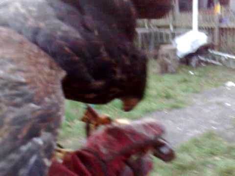 Harris hawk videos harris hawk video search harris hawk video