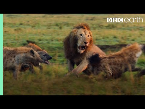 Lion Attacked by Pack of Hyenas - FULL CLIP (with ending) | Dynasties | BBC Earth thumbnail