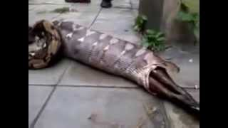 Worlds biggest snake Anaconda, swallowing a cow and vomitting the  same