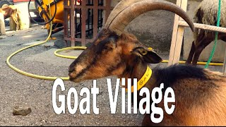 The village run by Goats