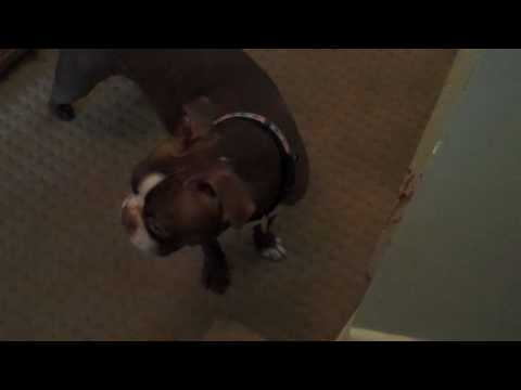 Boston Terrier Charley locking Turbo in the basement