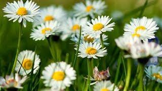 Hoa Mùa Xuân - Trác Mã Sáo Trúc