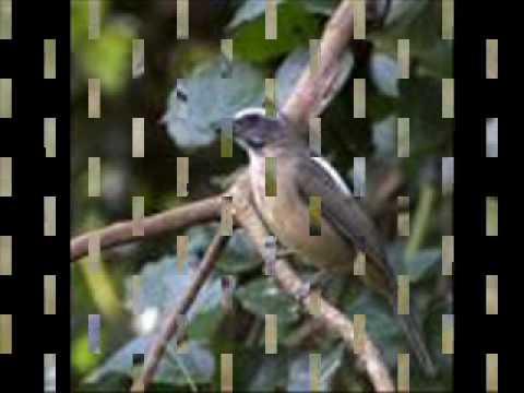 o canto do trinca ferro ou picharro ( saltator similis )