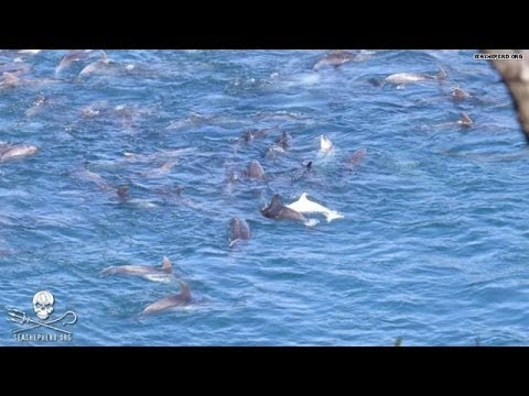 250 dolphins rounded up in 'the cove'
