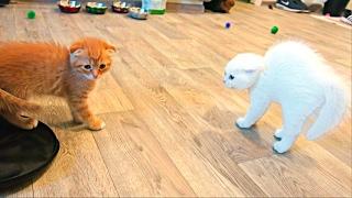 Шотландские вислоухие котята знакомятся