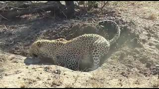 Leopard digging out a warthog
