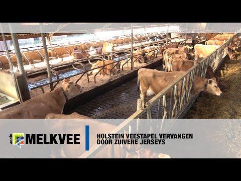 Van Holstein naar zuivere Jerseys