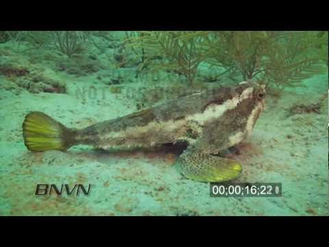7/31/1010 HD Stock Footage of a Bat Fish close up