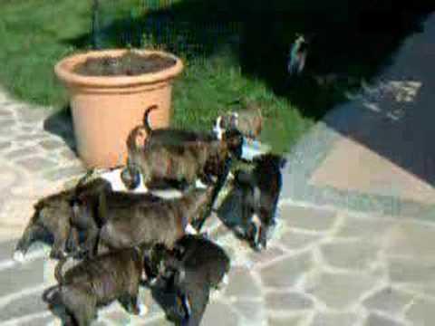 Amstaff cuccioli in libertà
