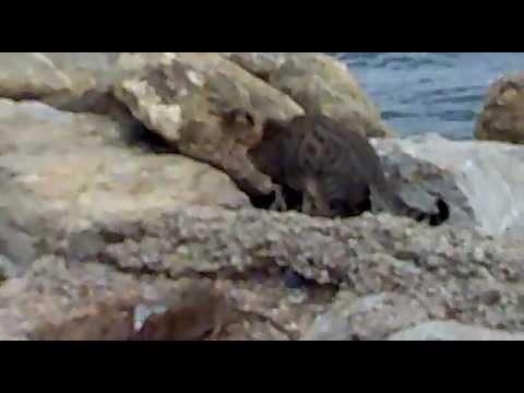 Kediye ölümüne saldıran çılgın fare