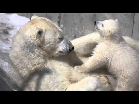 ホッキョクグマのララと赤ちゃん
