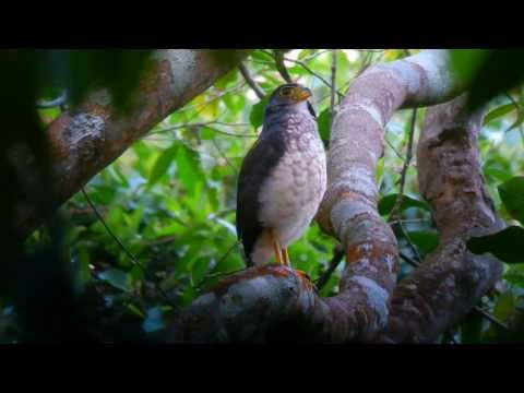 Header of Slaty-Backed Forest-Falcon